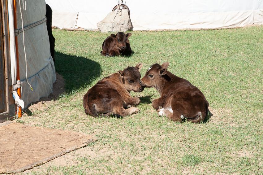 モンゴルの牛